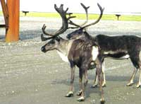 Caribou near an oil rig: losin