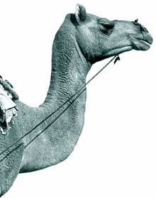 Camel Yatra