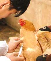 Bird flu: rearing its foul hea