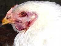 Avian trouble