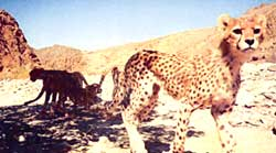 Rare cheetahs sighted