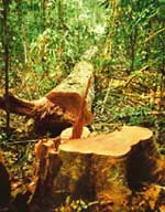 Amazonian logging gang busted