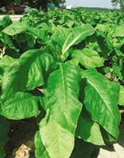 Tobacco turns a new leaf