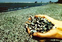 Anti-malarial drug from shellfish