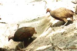 Nicobar megapode in serious trouble, faces extinction