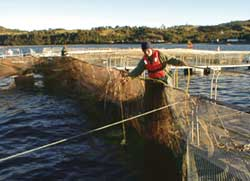 Salmon farming under scrutiny in Chile