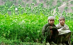Afghan opium harvest reaches record levels