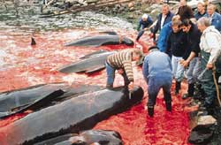 Iceland resumes whale meat export