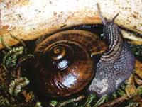 Snail dies in captivity in New Zealand