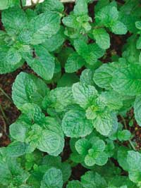 Mint relieves pain, acts as food preservative