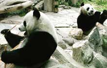 Thai zoo to show panda pornography to spark romance between pandas