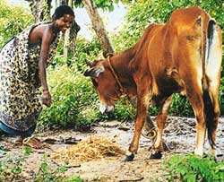 Methane from Indian cattle overestimated