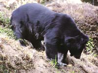 Bear killings raise furore in J&K