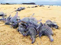 Toxic blue jellyfish found floating on Austalian beaches