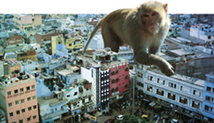 High court order on Delhi's monkeys gets mixed response