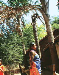 Mystery disease hits Bastar's fishtail palm