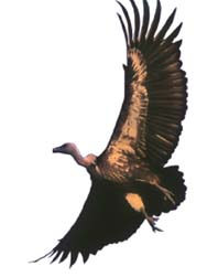 No consensus on vulture census, conservation
