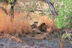 Asiatic lions: Pawns in a powe (Credit: Arvind Yadav / CSE)