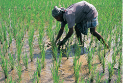 High carbon in paddy fields questions India's methane emission levels
