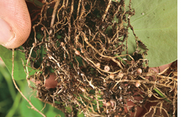 Root nodules of legumes harbou