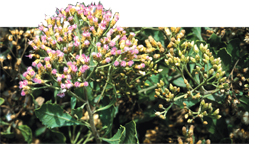 Indian camphorweed can cure amoebiasis