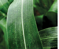 Virus-resistant maize in the making