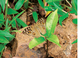 Butterflies brought by tsunami threaten Andaman's ecology