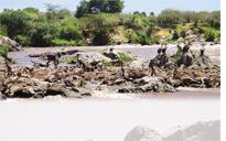 Thousands of wildebeest drown in Kenya's Mara river
