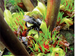Polen theft by honeybees hits Sikkim's cardamom yield