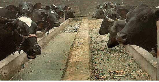 Dairy paradox