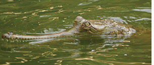 Endangered gharials die mysterious death