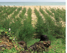 Will planting Causarina give protection against another tsunami?