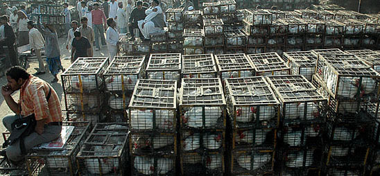 Poultry trade down with bird flu