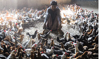 Bangladesh backyard poultry hit by bird flu