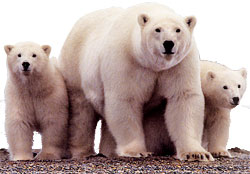 Oil companies imperil polar bear habitat