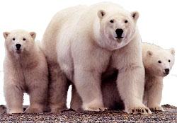 Oil companies imperil polar bear habitat
