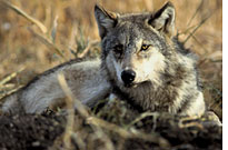 Gray wolf: Off the endangered< (Credit: FWS)