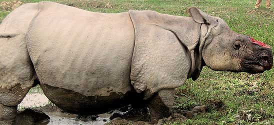Poaching led to record rhino deaths in Kaziranga