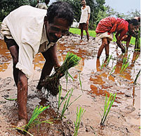 Paddy cultivation reduces global warming