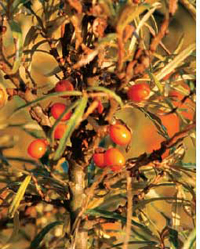 Sea buckthorn leaves can cure liver ailments