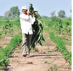 Harvest of loss: spoiled crops (Credit: MEETA AHLAWAT)