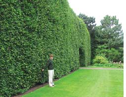 A century-old hedge in the bot (Credit: Dileep Chinchalker)