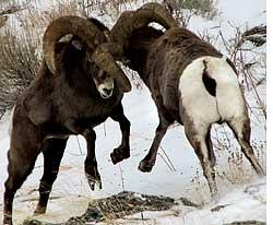 Bighorn sheep have smaller hor (Credit: BILL HOMAN)