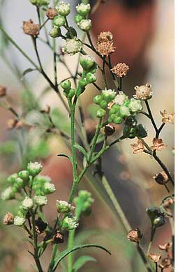 Parthenium is an accidental ba (Credit: MEETA AHLAWAT)