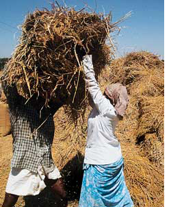 Paddy sells cheap in Kerala