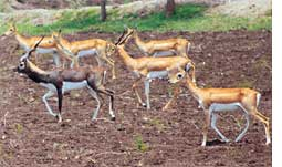 Operation ambush blackbuck