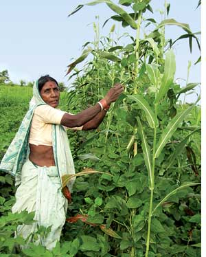 Lalitabai plucks long beans in her pata for the evening meal (Credit: Aparna Pallavi)