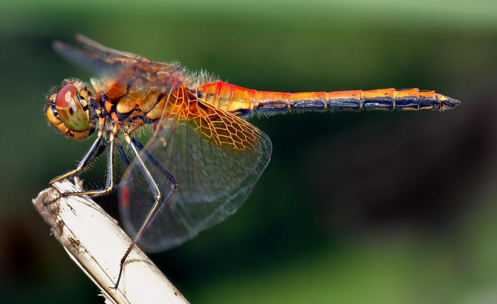 Dragonflies are not studied because they are not proxies of human psyche and society like ants and apes (Photo credit: André Karwath aka Aka, CC BY-SA 2.5)