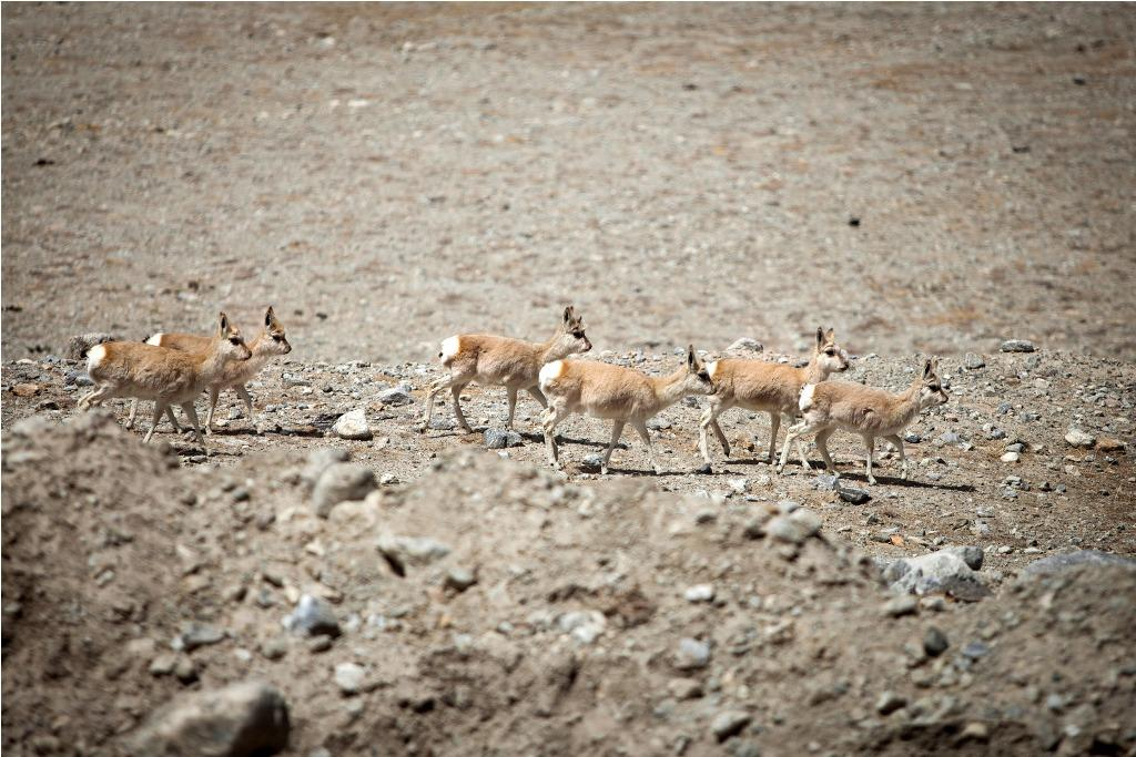 Uncontrolled poaching has led to declines in the population of Tibetan antelope in China and India; they are no longer found in Nepal (Photo: Jitendra Raj Bajracharya/ICIMOD)