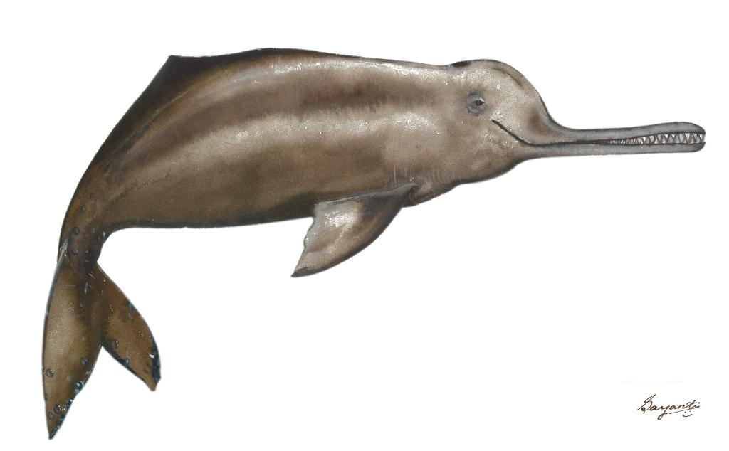 Gangetic dolphins, found in the Brahmaputra, suffer from habitat destruction and are traded for their flesh and oil (Photo provided by NGO HelpEarth)